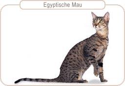Kattenras Egyptische Mau