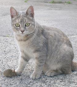 Kattenras: Europese Korthaar kat tabby close up