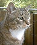 Kattenras: Europese Korthaar buiten