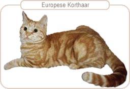 Kattenras Europese Korthaar
