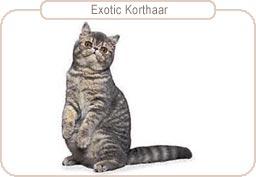 Kattenras Exotic