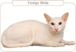 Kattenras Foreign White