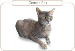 Kattenras German Rex