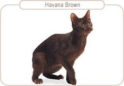 Kattenras Havana Brown