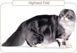 Kattenras Highland Fold