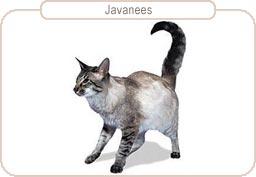 Kattenras Javanees