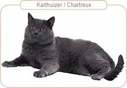 Kattenras Karthuizer/Chartreux