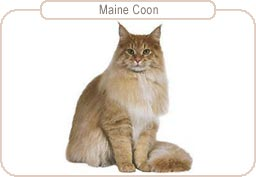 Kattenras Maine Coon