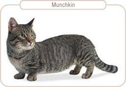 Kattenras Munchkin