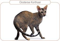 Kattenras Oosterse Korthaar