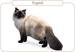 Kattenras Ragdoll