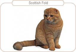 Kattenras Scottish Fold
