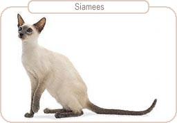 Kattenras Siamees