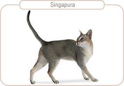 Kattenras Singapura