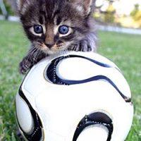 Kattenvoetbalgekte