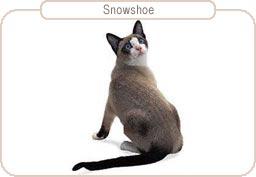 Kattenras Snowshoe