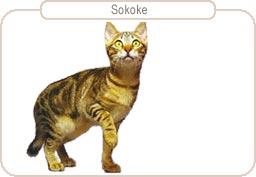 Kattenras Sokoke