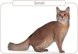 Kattenras Somali
