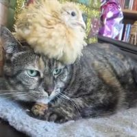 Kat niet snel besmet met vogelgriep