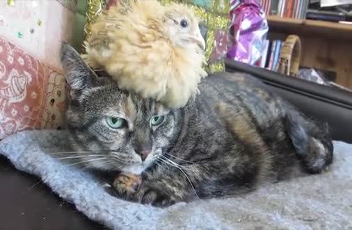 Kat met een kuiken op zijn kop