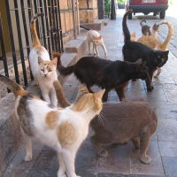 Motie aangenomen voor steriliseren verwilderde katten