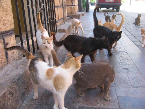 Zwerfkatten. Foto: Wikimedia Commons