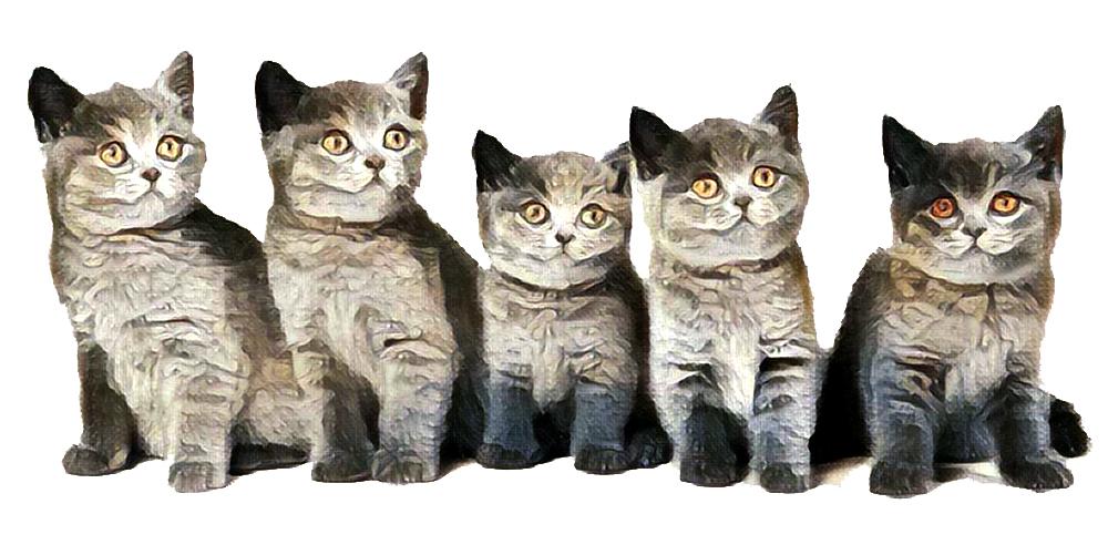 Blauwe kittens