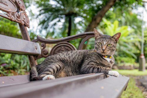 Indische civetkat in Thailand