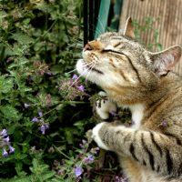 Waarom katten van kattenkruid houden