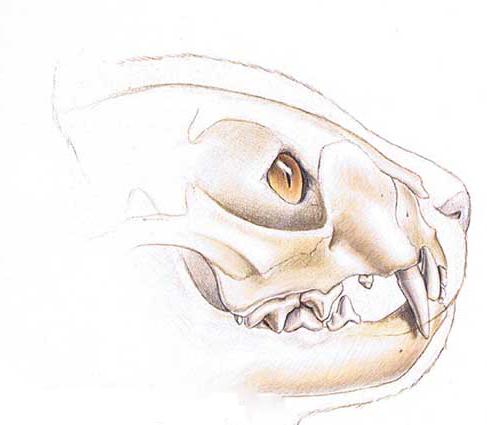 Schedel en gebit van de kat. Foto: Dierenkliniek Wilhelminapark