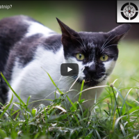 Waarom houden katten van kattenkruid?