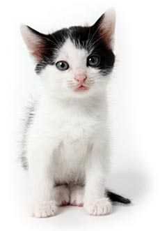Wit zwart kitten
