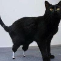 Nieuwe pootjes voor bionische kat Oscar