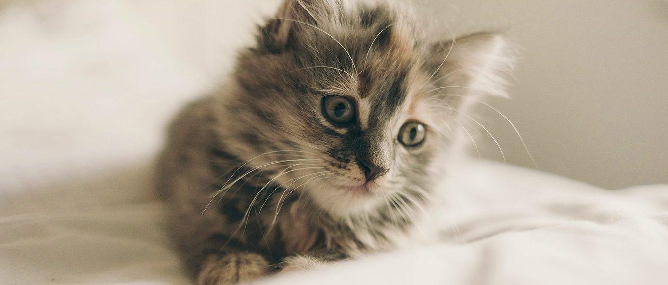 Dromerig kitten