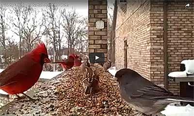 Vogels in de winter - video voor katten