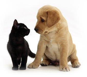 De introductie van een puppy bij een kat