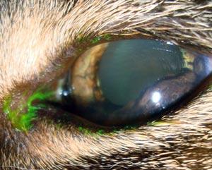Irismelanoom bij een kat