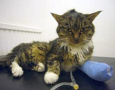 Kat met nierfalen aan een infuus