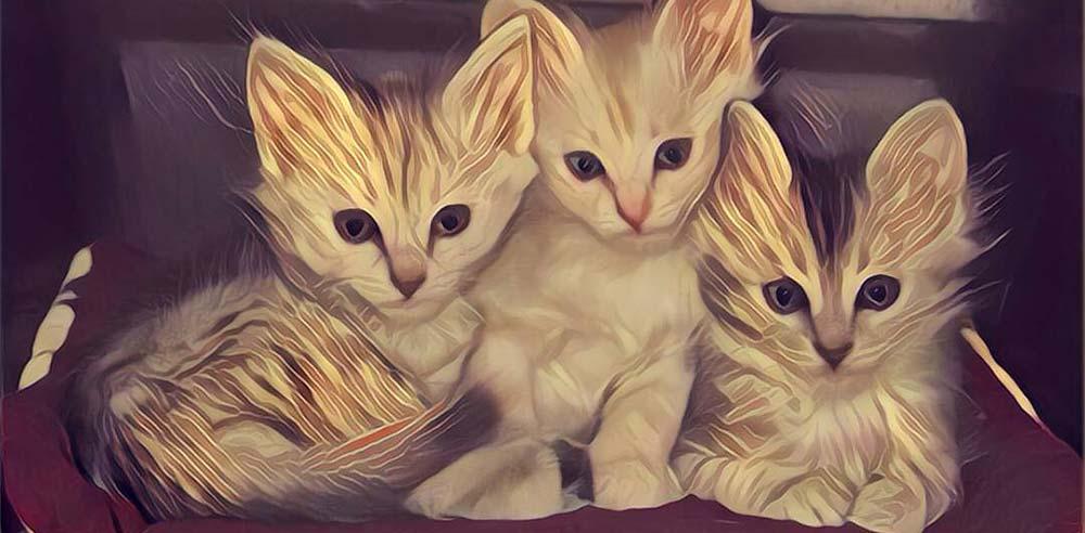 Kattenrassen / raskatten: Turkse Angorakittens