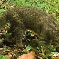 NewScientist: &quote;Chileense wilde katten ter grootte van kittens dreigen uit te sterven&quote;