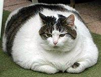 Overgewicht bij de kat - kat met obesitas
