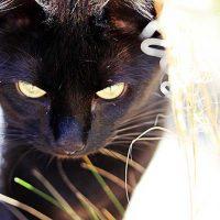 Roos, huidschilfers en vachtmijt bij de kat