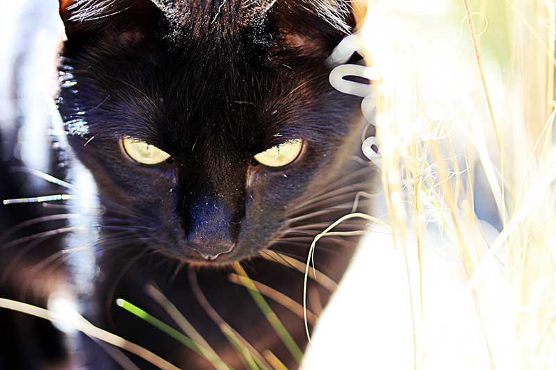 Zwarte kat met roos cq huidschilfers in de vacht